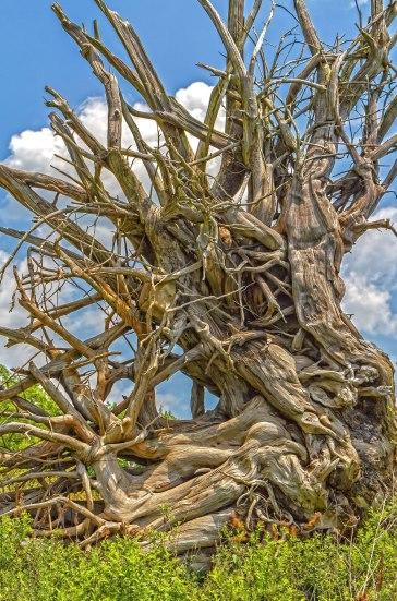Driftwood Spider