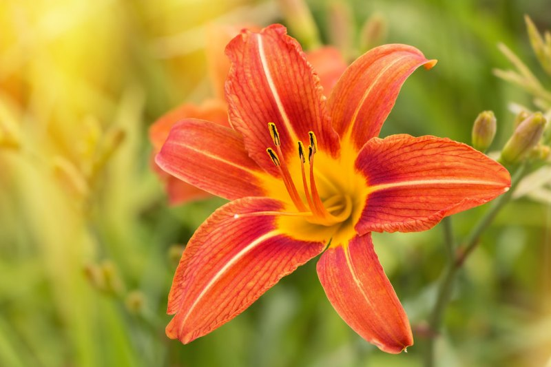 Tiger-Lily