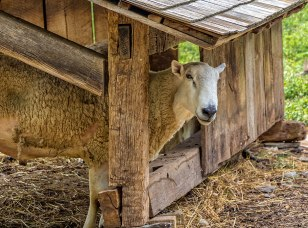 Inquisitive-Sheep