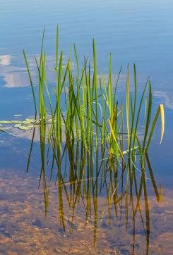 Lake-Minsi-Weeds
