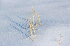 Weeds-in-Snow