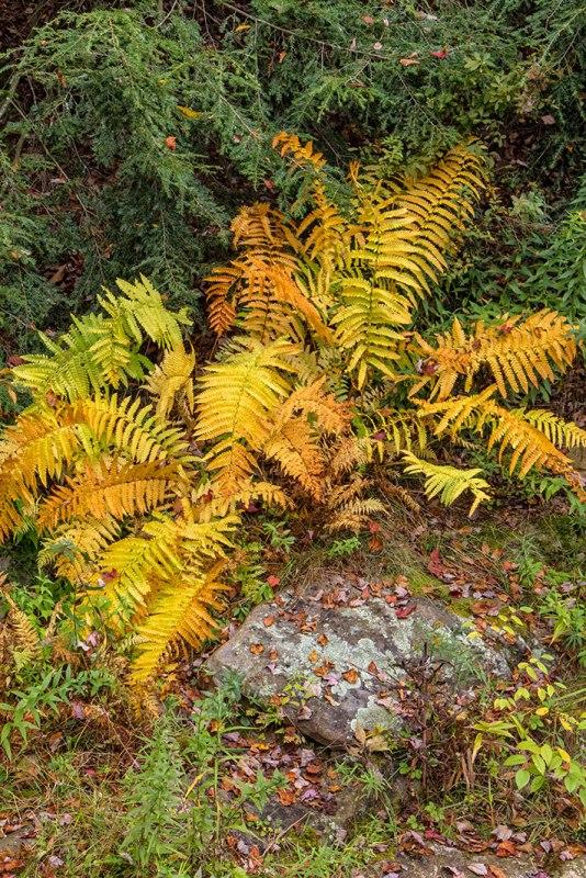 Hickory-Run-Ferns