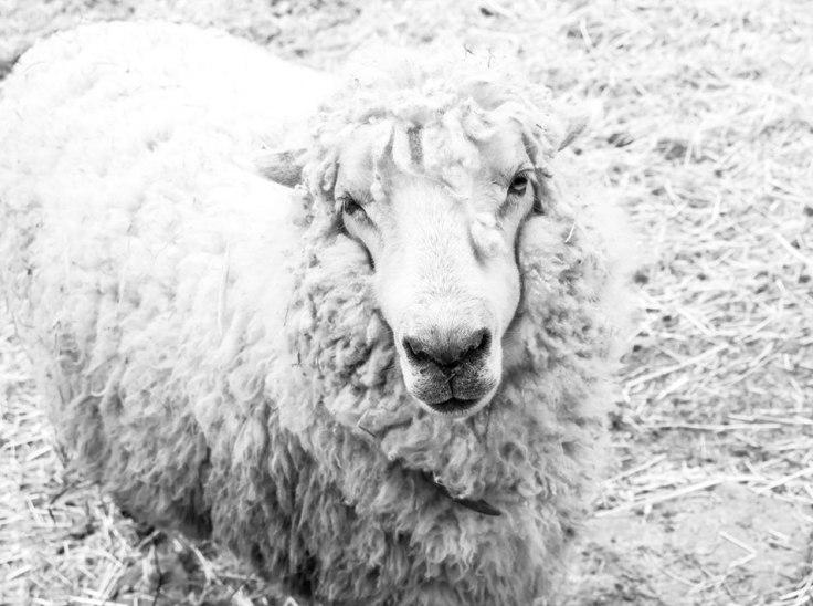 Hungry-Sheep