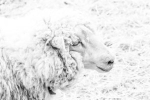 Inquisitive-Sheep