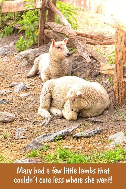 Mary's-Lambs