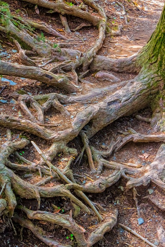 Tree-Roots-Tentacles