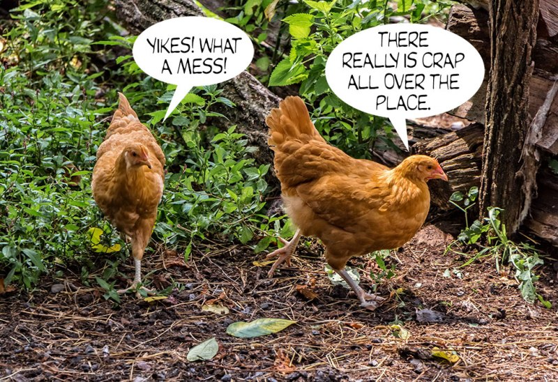 Chickens-1
