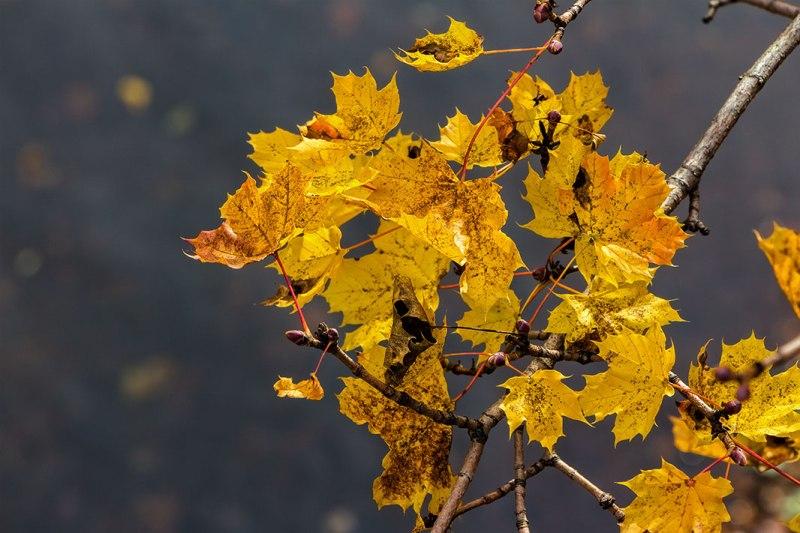 Autumn-Yellow-Leaves