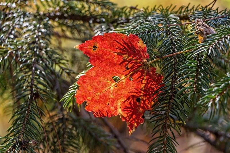 Austin-Blakeslee-Leaf