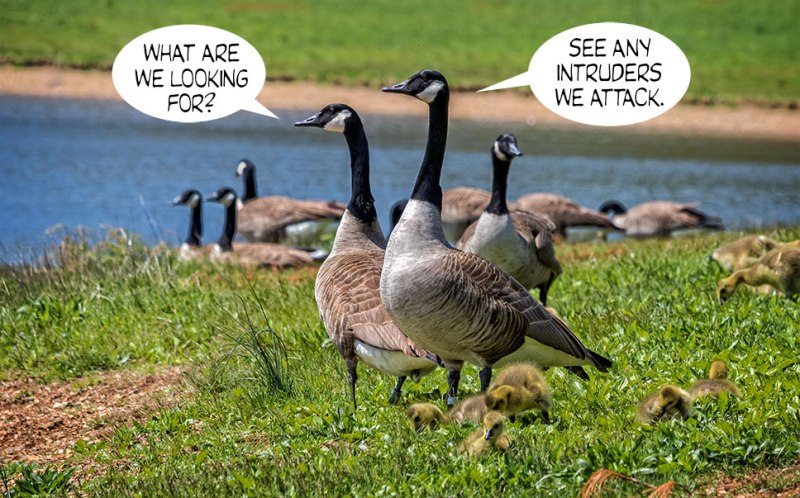 Geese-Poop-2