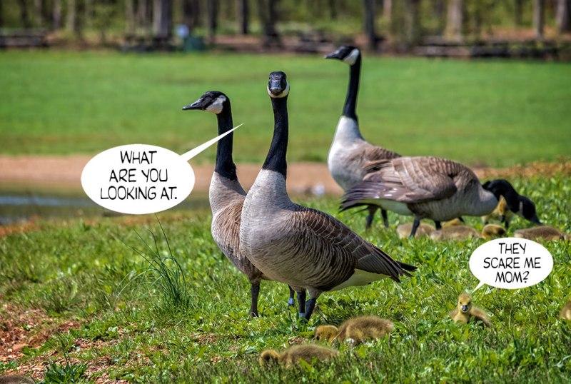Geese-Poop-3