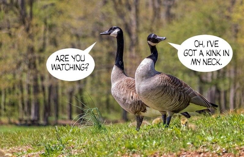 Geese-Poop-4