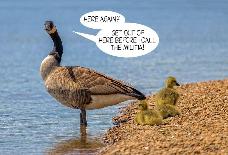 Geese-Poop-8
