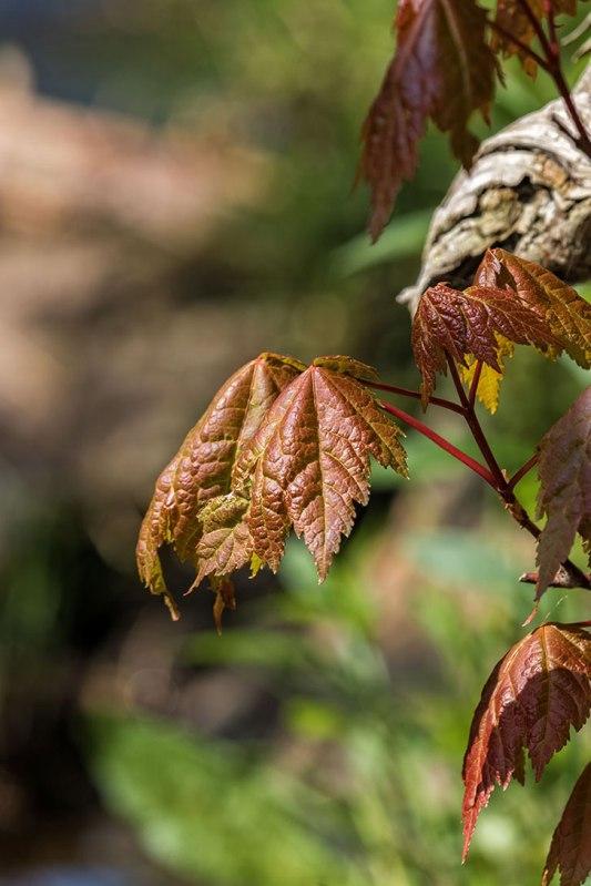 Spring-Leaves
