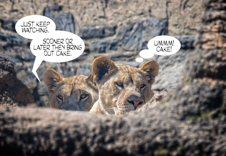 Watching-Lions