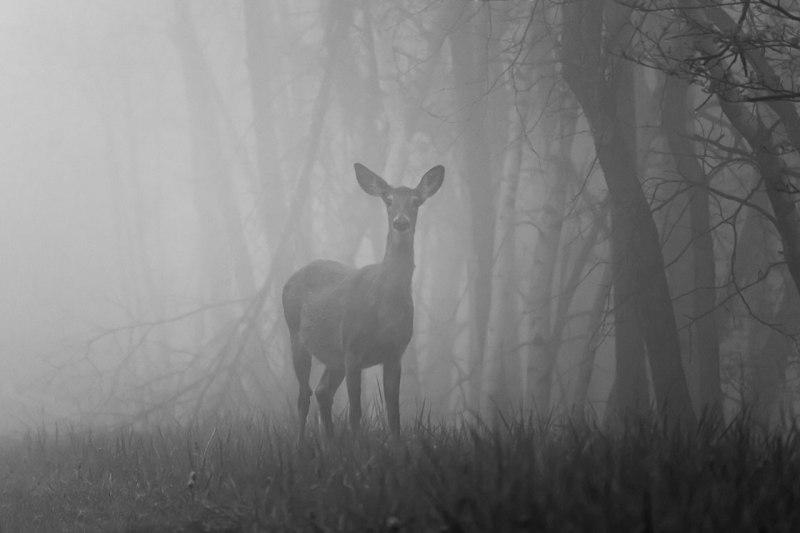 Deer-In-The-Fog