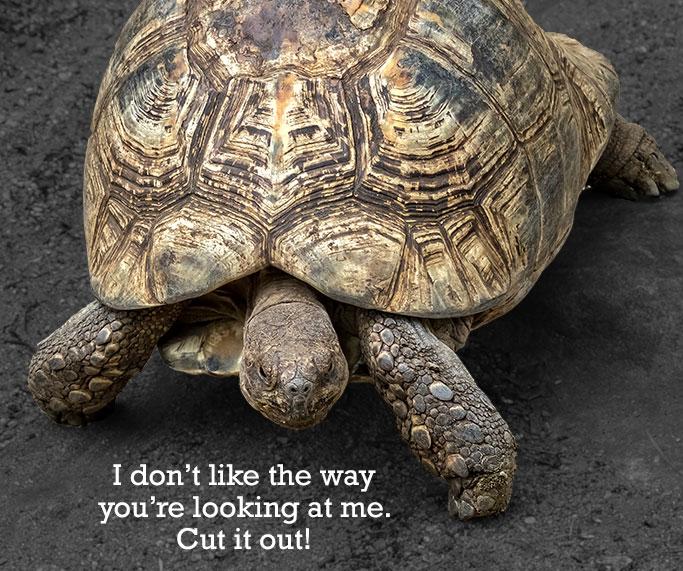 Fighting-Turtle