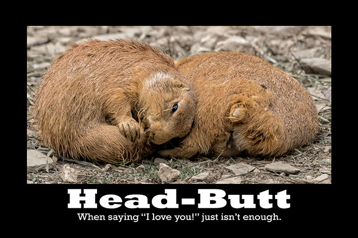 Prairie-Dog-Head-Butt-Card