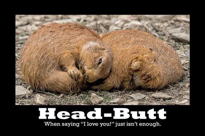 Prairie-Dog-Head-Butt-Card