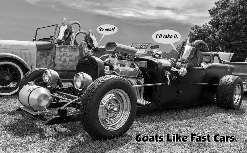goats-at-car-show-1