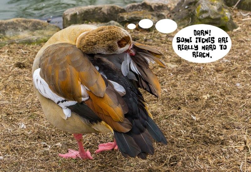 Duck-Scratching
