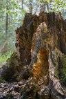 Tree-Stumps-1