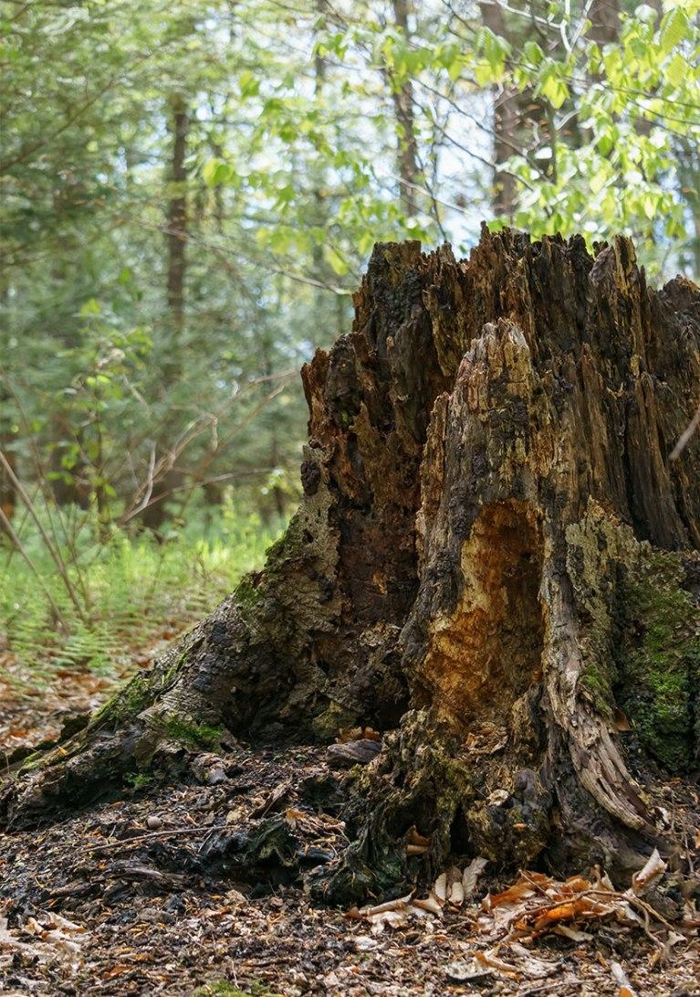 Tree-Stumps-3