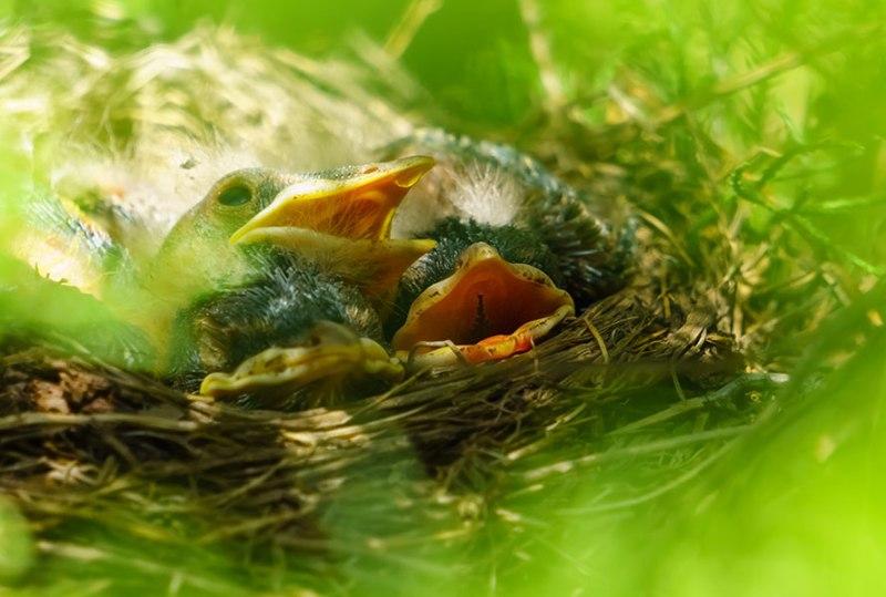 Baby-Birds-1