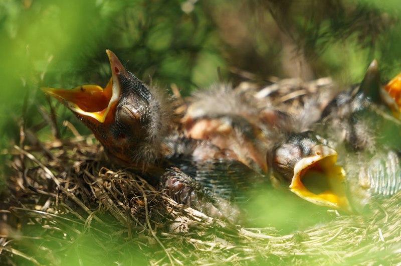 Baby-Birds-3