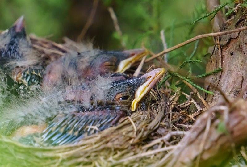 Baby-Birds-4