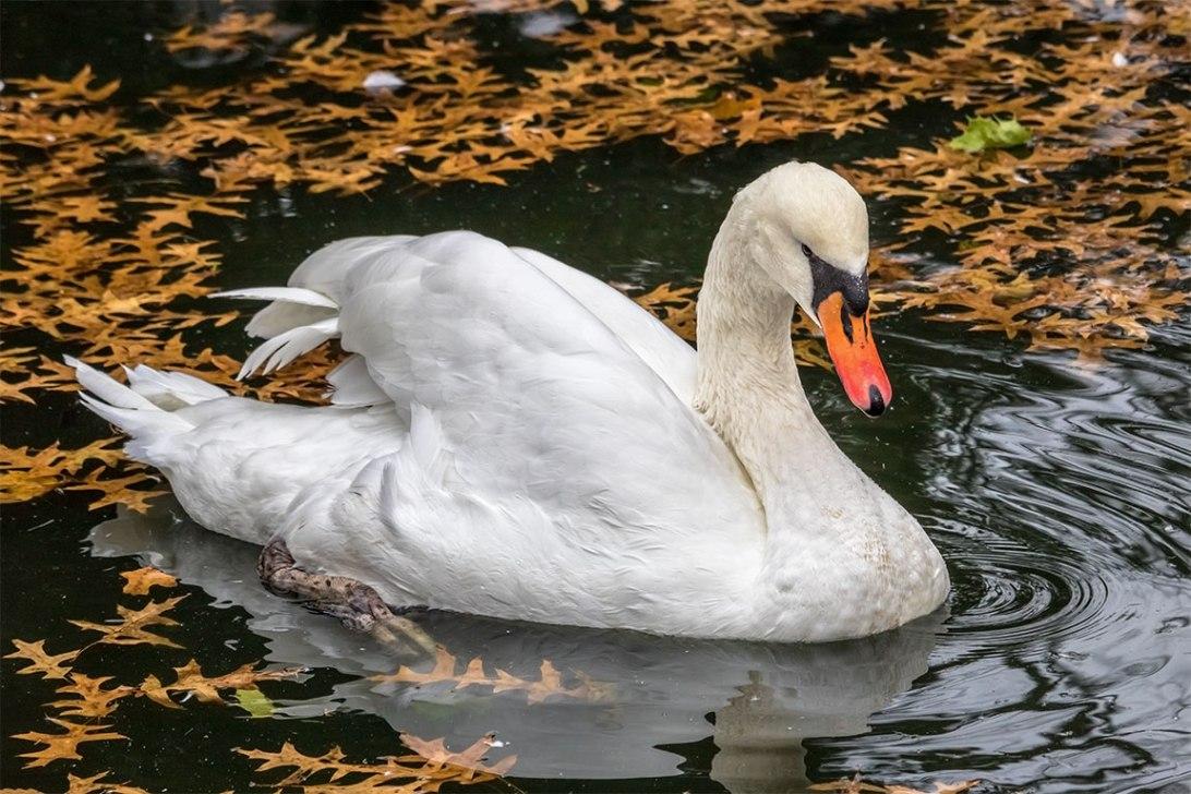Swan-2