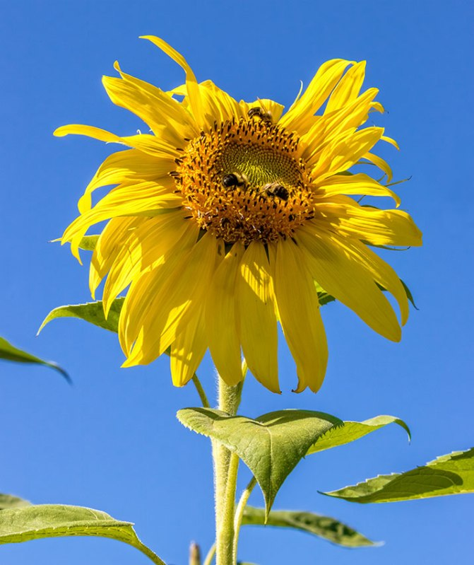 Sunflower-and-Bees