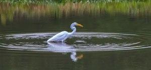Great-Egret-1