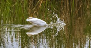 Great-Egret-3