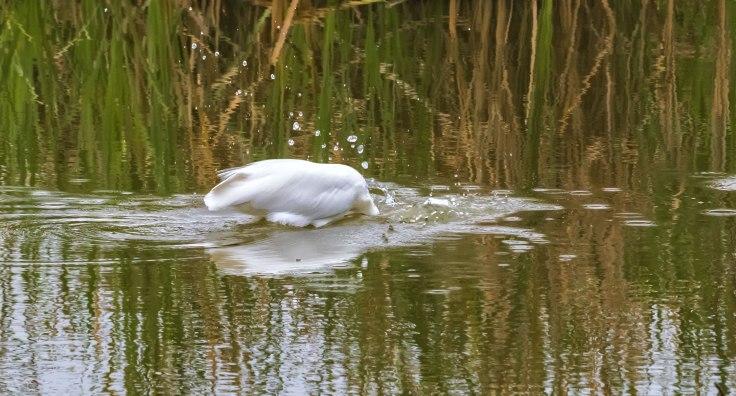 Great-Egret-4