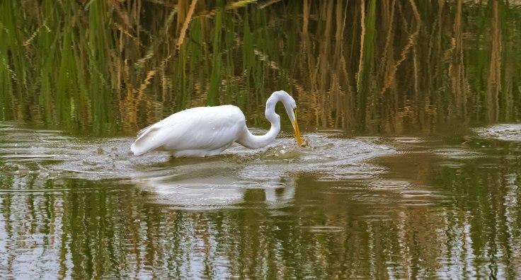 Great-Egret-5