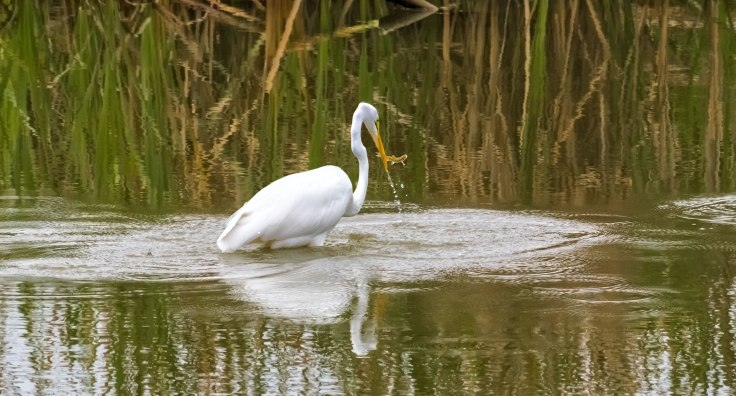 Great-Egret-6