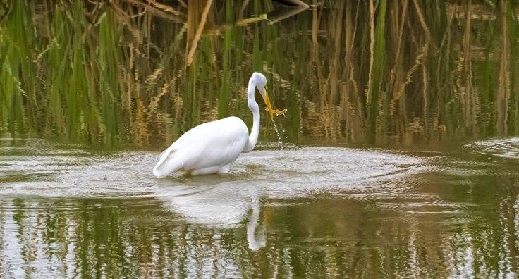 Great-Egret-6