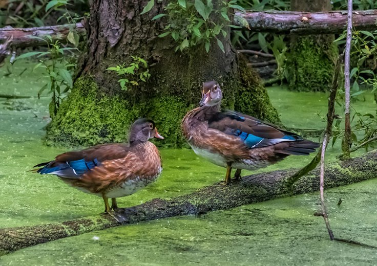 Mallards-In-The-Swamp-1