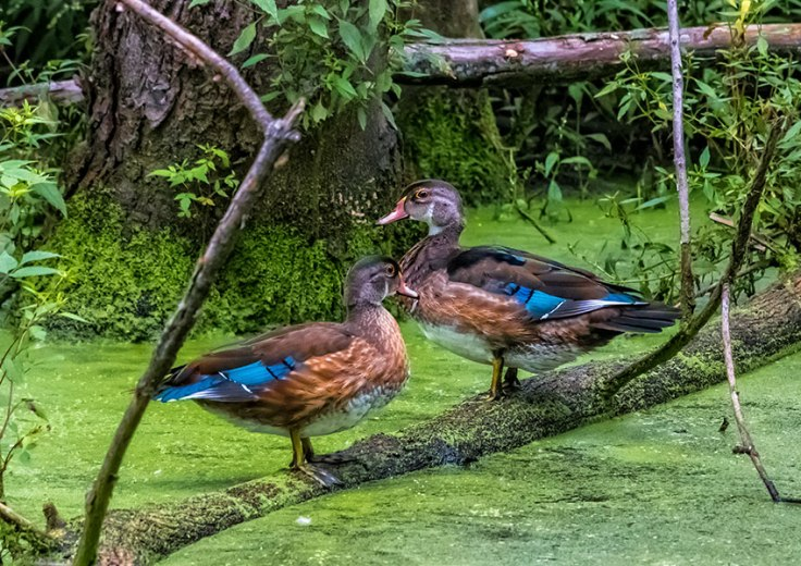 Mallards-In-The-Swamp-2