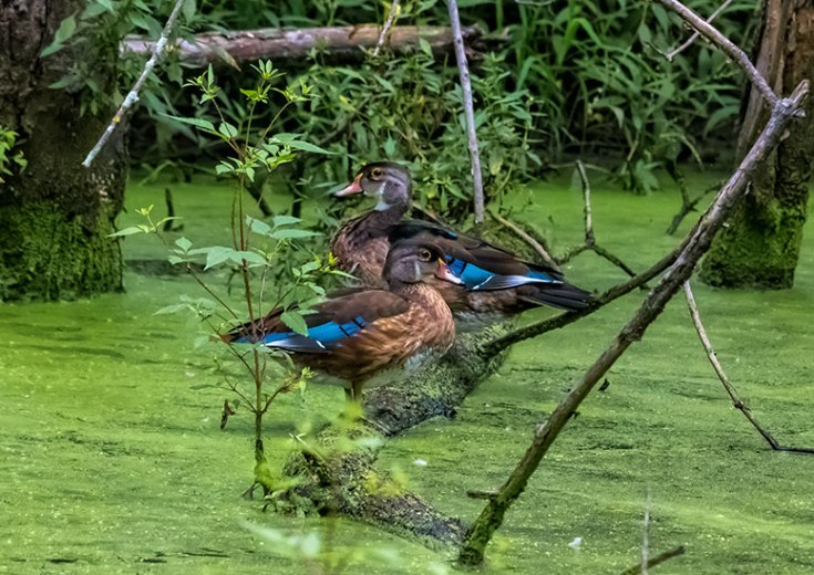 Mallards-In-The-Swamp-3
