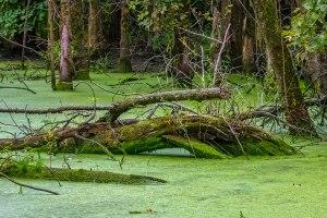 Swamp-1